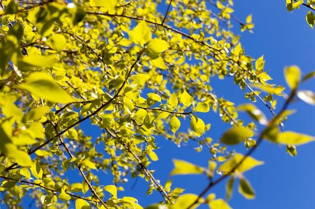 春の美しい白樺の木、森の中の白樺の枝の春の天気のクローズアップ