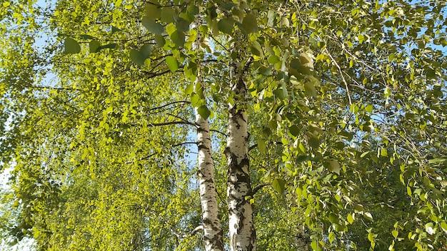 Beautiful birch trees lit by sunlight