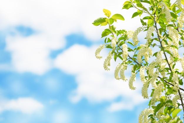 Красивая черемуха в цвету на фоне пасмурного голубого неба