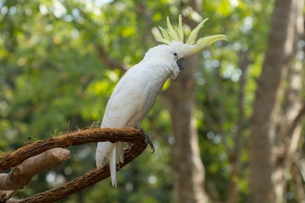 Beautiful bird , closeup yellow-crested cockatoo