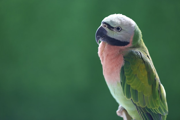 Beautiful bird, female red-breasted parakeet on green background (psittacula alexandri)