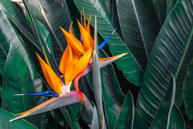 Beautiful bird of paradise flower (strelitzia reginae) with green leaves background in tropical garden