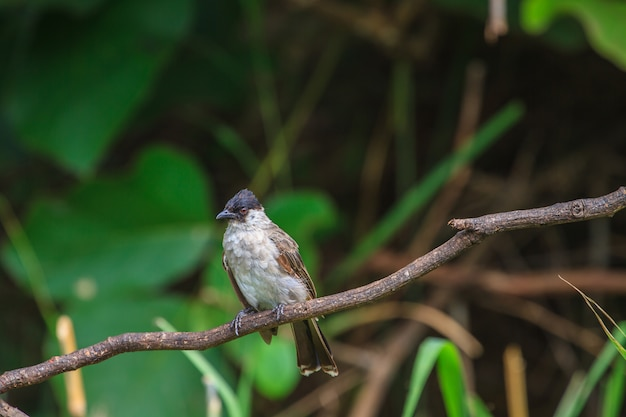 Beautiful bird sooty headed bulbul perched on wooden (pycnonotus aurigaster)