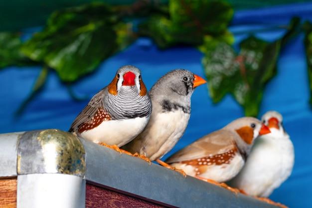 枝にとまる美しい鳥、キンカチョウ(taeniopygia guttata)。