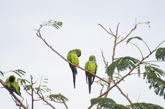Красивые птицы нандайский попугай на дереве в бразильском пантанале