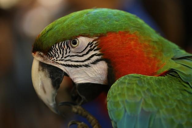 The beautiful birds scarlet macaw