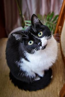 Красивый черно-белый кот с желто-зелеными глазами сидит на стуле и смотрит в камеру