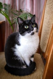 Красивый черно-белый кот с желто-зелеными глазами сидит на стуле у себя дома