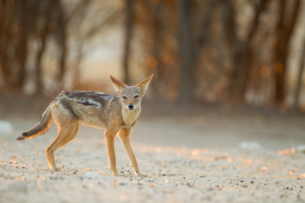 Beautiful black-backed sand fox in the desert with the trees