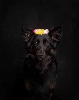 Beautiful black border collier with flower headband on the head looking at camera on a black background in the studio