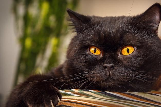 Красивый черный кот на плече человека.