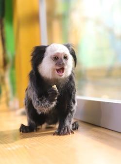 美しい黒い紋付きのマーモセットサルは、食べ物を手に持っています。霊長類