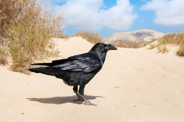 A beautiful black crow perched on the desert sand.
