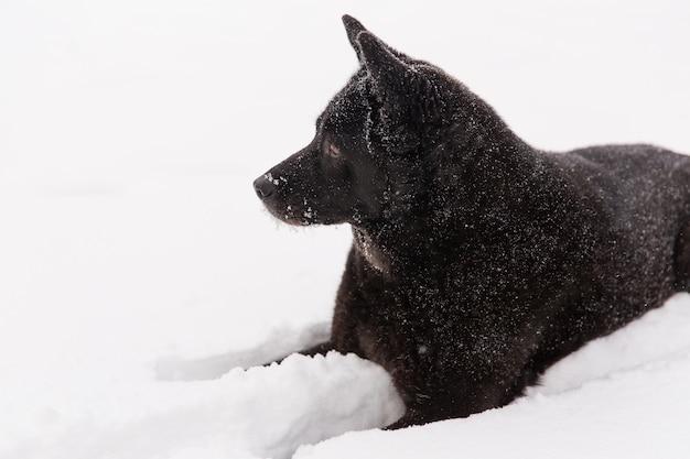 겨울 숲에서 설에 누워 아름 다운 검은 개