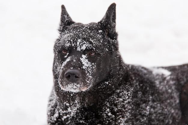 겨울 숲에서 설에 눈이 아름 다운 검은 개