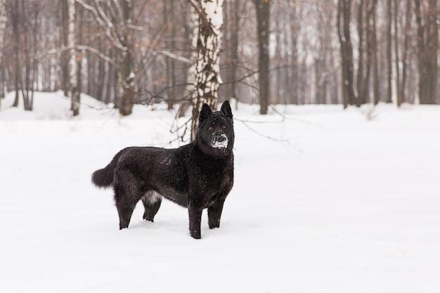 겨울 숲에서 설에 걷는 아름 다운 검은 개