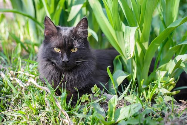 Красивая черная пушистая домашняя кошка лежит в зеленой траве крупным планом