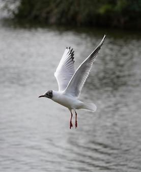 Beautiful black-headed gull on sea Premium Photo