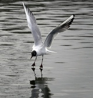 Beautiful black-headed gull on sea