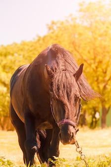 Красивая черная лошадь на открытом воздухе. концепция верховой езды.