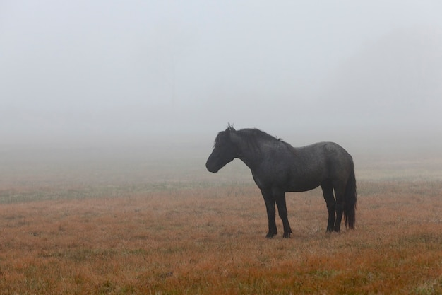 Beautiful black horse on a pasture in the autumn season, morning time fog, horse silhouette