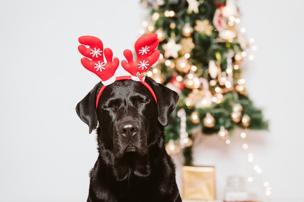Beautiful black labrador at home by the christmas tree. dog wearing a funny santa diadem