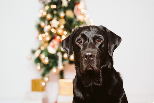 Beautiful black labrador at home by the christmas tree