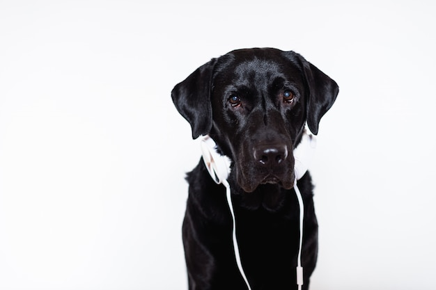 Beautiful black labrador at home listening to music on headset
