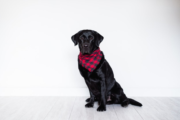 Beautiful black labrador at home wearing a red and black plaid bandana