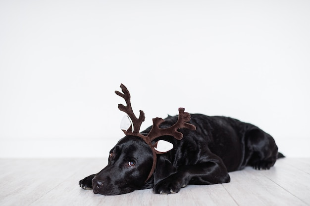 Beautiful black labrador at home wearing reindeer horns. christmas concept