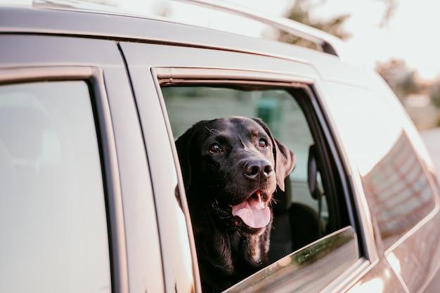 Красивый черный лабрадор в машине