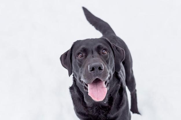 自然を楽しんで、幸せそうな顔で雪の中で美しい黒いラブラドール。冬のシーズン。屋外のペット