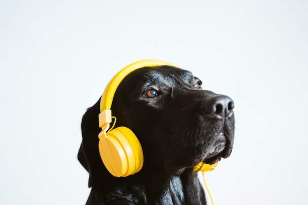 Beautiful black labrador listening to music on yellow headset at home. music and technology concept
