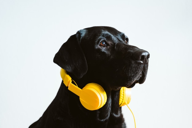 Красивый черный лабрадор слушая к музыке на желтом шлемофоне дома. музыкальная и технологическая концепция