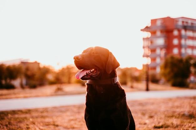 夕暮れ時の公園に座って美しい黒のラブラドール。屋外のペットとライフスタイル