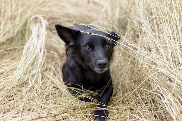 Beautiful black puppy dog sitting on the hay in the fall at nature and thinks like a philosopher