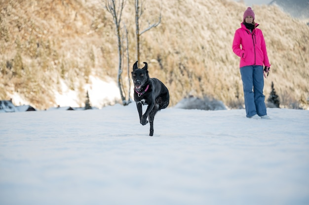 Beautiful black shepherd dog with three paws running in a snowy winter nature