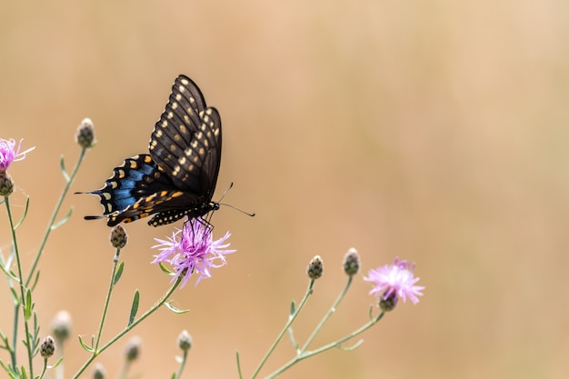 Beautiful black swallowtail butterfly pollinating a purple thistle flower