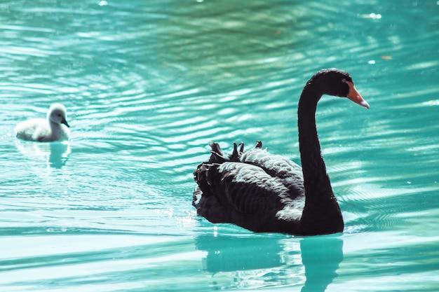 小さなアヒルと水の背景に美しい黒い白鳥のクローズアップ。