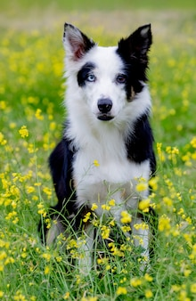 Beautiful black and white border collie dog