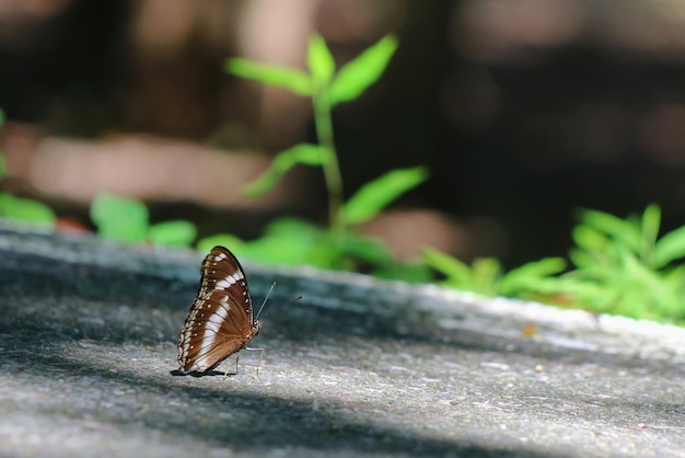 Beautiful black and white butterfly relaxing on the walkway in the park.