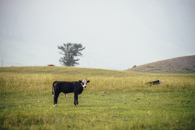 Красивый черный белый молодой теленок, пасущийся на лугу в горной местности среди коров. живописный пейзаж с сельскохозяйственными животными в зеленом поле. горное пастбище с молодым теленком и коровами в зеленой траве.