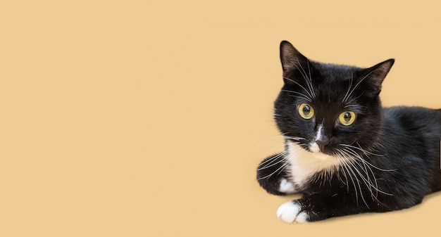 Beautiful black and white young cat is lying and looking at camera on beige background. favorite pets. banner. copy space for text. background for advertising for veterinary medicine or pet products.