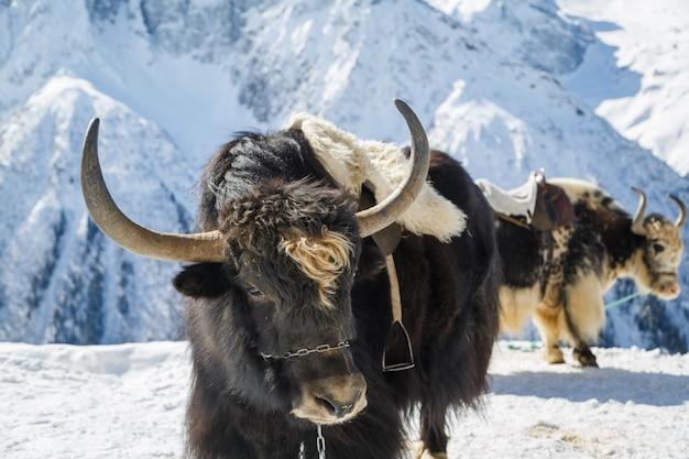 大きな角を持つ美しい黒いヤクが雪国に立っています。