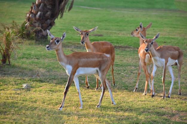 A beautiful blackbuck antelope