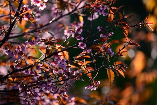 Beautiful bloom pink cherry blossom sakura flowers on morning sunlight