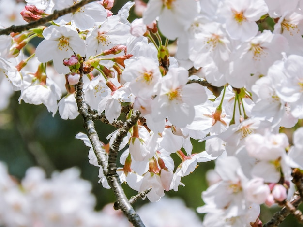 Beautiful bloomed cherry blossom flowers