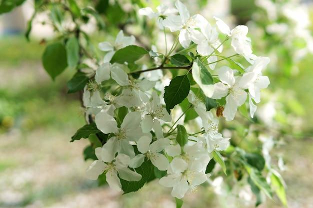 봄 공원에서 아름답게 피어난 사과 나무, 아침에 빛나는 태양