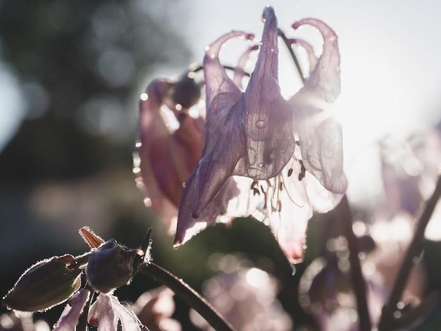 Beautiful, blooming bellflower