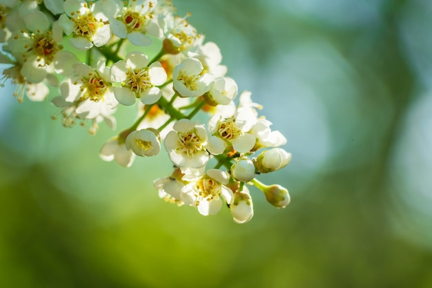 Beautiful blooming bright branch of white bird cherry closeup on a sunny day in spring.